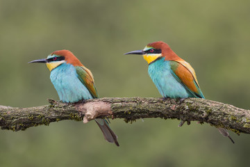 Engaged couple of European bee eaters (Merops apiaster)