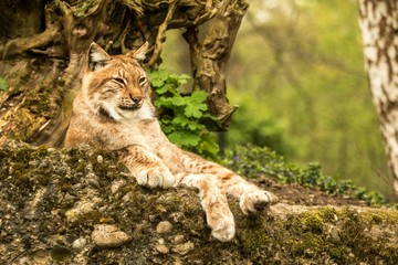 Close up portrait of European Lynx lying and resting in spring landscape in natural forest habitat, lives in forests, taiga, steppe and tundra, beautiful predator, wild cat animal in captivity, zoo