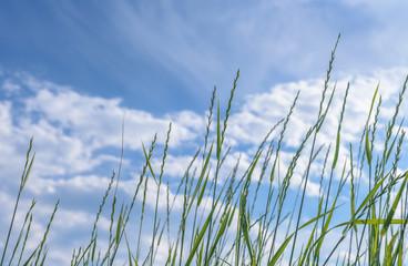 Tilt upward of tall green wild grass softly waving in the wind