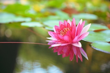beautiful lotus flower on the water after rain in garden with bokeh.