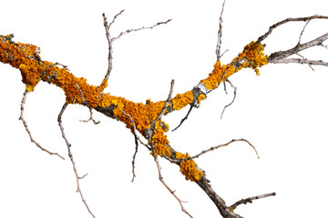 A branch of old dry wood is covered with a yellow lichen. Isolated on a white background.