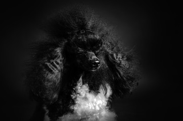 black and white poodle fluffy doggie portrait in photo studio on a black background