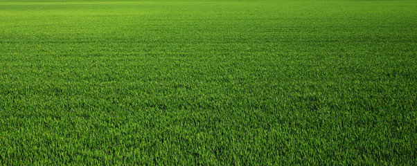 Lush green grass meadow background