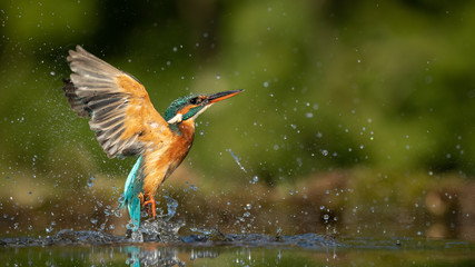 Female Kingfisher emerging from the water after an unsuccessful dive to grab a fish.  Taking photos of these beautiful birds is addicitive now I need to go back again.