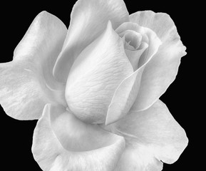 Bright high key monochrome rose blossom macro on black background, fine art still life floral macro of a single isolated white bloom with detailed texture