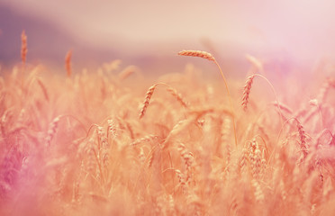 Wheat field. full of ripe grains, golden ears of wheat or rye close up.