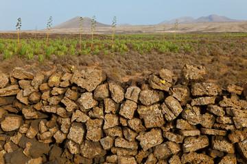 Plantación de pita o ágave. Pueblo Lajares. Isla Fuerteventura. Provincia Las Palmas. Islas Canarias. España