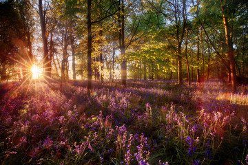 Dawn light shines through bluebell forest
