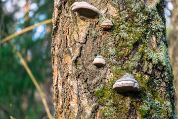 An old stump, infected by fungal plant pathogen - Polypore fungus. This species infects trees through broken bark, causing rot and continues to live on trees long after they have died, as a decomposer