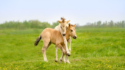 Two cute dun colored Konik foals playing, legs hang around the neck, they are part of a free-range herd of the Polish primitive horse breed live in nature reserve De Rug, Roosteren, Netherlands