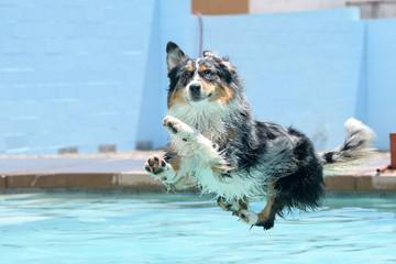 Merle Aussie wyląduje w basenie