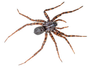 Wolf spider with striped legs isolated on white