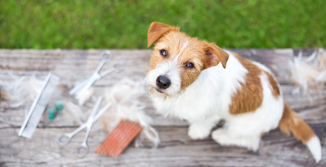 Pet grooming concept, web banner of a jack russell dog as sitting on the table with fur and equipments