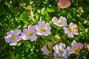 Dog rose (rosa canina) flowers in springtime