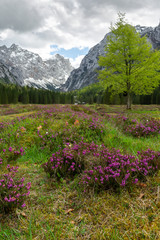 Spring in Krma valley at the Julian Alps with wild flowers blooming, Triglav national park, Slovenia