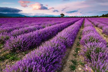 Splendid lavender field