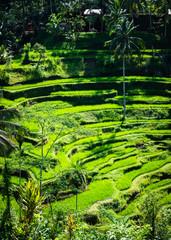 Tegalalang rice terraces beautiful rice paddies in Bali, Indonesia