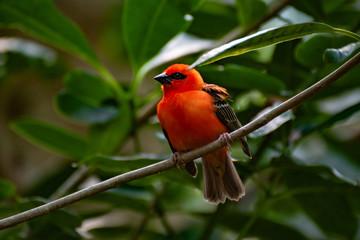Roter Vogel auf dem Ast