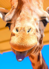 Beautiful Giraffe Background