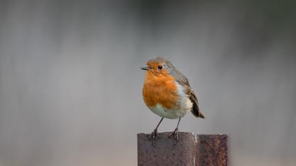 Robin on metal post