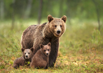 Female Eurasian brown bear and her cubs in boreal forest