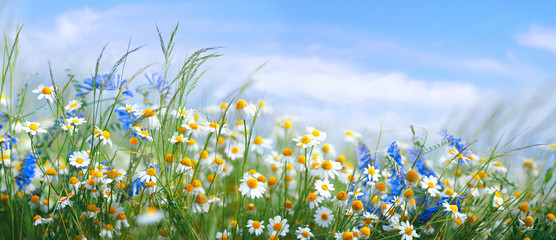 Beautiful field meadow flowers chamomile, blue wild peas in morning against blue sky with clouds, nature landscape, close-up macro. Wide format, copy space. Delightful pastoral airy artistic image.