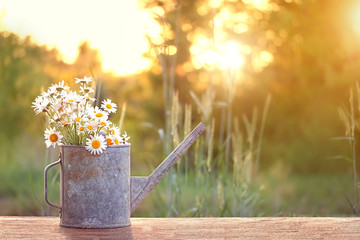 bouquet of daisies in watering can, summer sunny garden. Summer time season concept. beautiful still life of watering can and chamomile flowers in sunlight. inspiration image. copy space