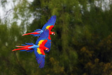 The scarlet macaw (Ara macao) flying through forest with green background. Dvojice velkých papoušků při letu. Macaw pair flying high in the greenery of trees.