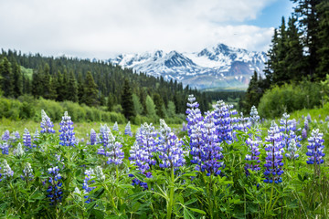 Purple lupin wildflowers in the remote Delta Mountains of Alaska.