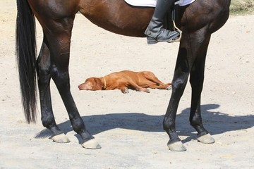 Tired and thirsty dog sleeping on the sand during dressage training at rural animal farm