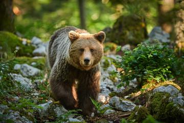 Wild brown bear (Ursus arctos) close up