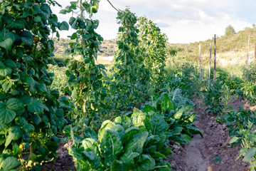 green bean plants and chard plants in an ecological garden