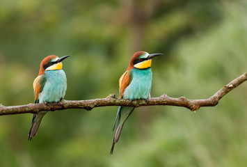Common Bee-eaters breeding performance