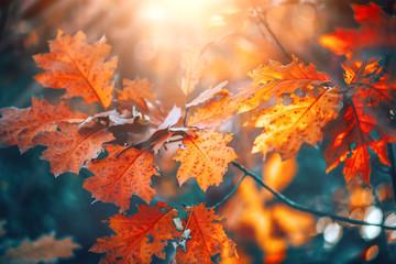 Jesieni kolorowi jaskrawi liście huśta się na dębowym drzewie w jesiennym parku. Spadek tła. Piękna przyroda