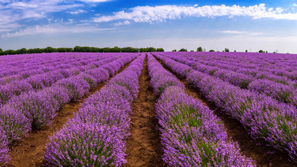 Beautiful lavender fields on a sunny day. lavender blooming scented flowers. Field against the sky. Moldova.