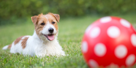 Banner of a happy smiling pet dog puppy as playing with a dotted ball in summer