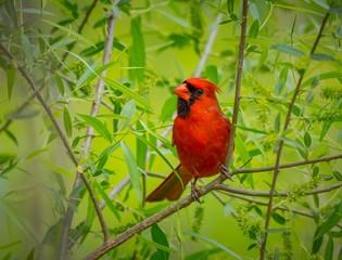 Cardinal male