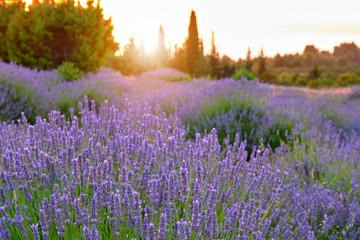 Kwitnący lawendy pole na wyspie Hvar o zachodzie słońca