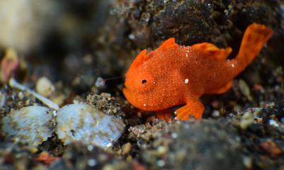 Underwater world - Painted Frogfish -Antennarius pictus. Diving, super macro photography. Tulamben, Bali, Indonesia.