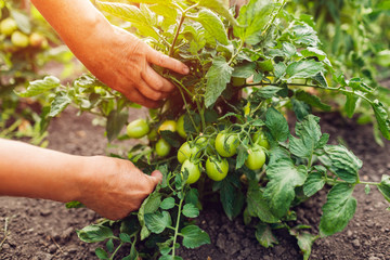 Senior woman farmer checking green tomatoes growing on farm. Farming, gardening concept