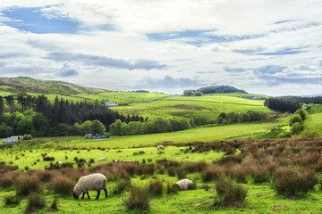 Sheep grazing in the fields in Kintyre in the Highlands of Scotland
