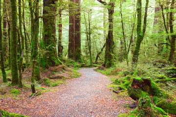 Pathway through rainforest , Fiordland National Park, South Island,  New Zealand