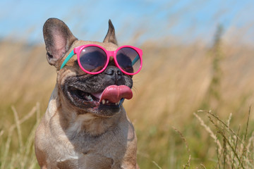 Funny cute and happy French Bulldog dog wearing pink sunglasses in summer in front of grain field and blue sky on a hot day