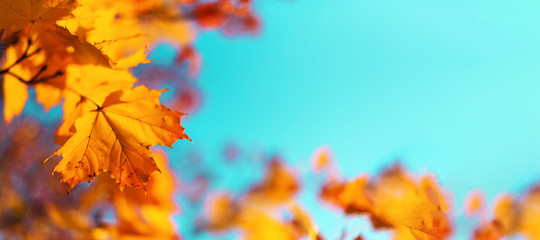 Autumn yellow leaves on blue sky background. Golden autumn concept. Sunny day, warm weather.