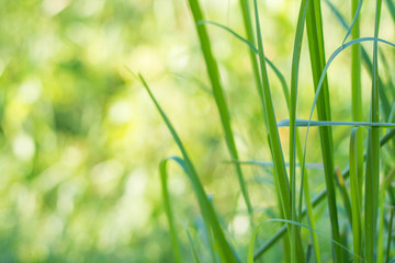 Lemon Grass outdoor background,Lemon grass plant leaf background.Herb plant,Lemon Grass