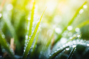 green grass with dew drops in spring, macro nature background