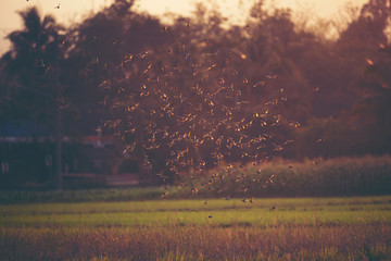 many small birds flying on the paddy field