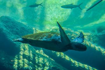 Huge sea turtle swimming under water in Ushakha Durban