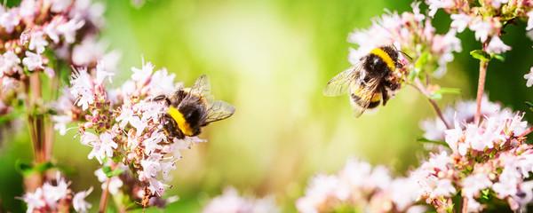 Bumblebee on marjoram flowers