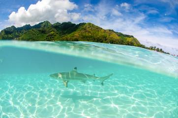 Rozszczepiony strzał rekina rafy czarnej pływanie w czystych wodach wyspy Moorea w Polinezji Francuskiej